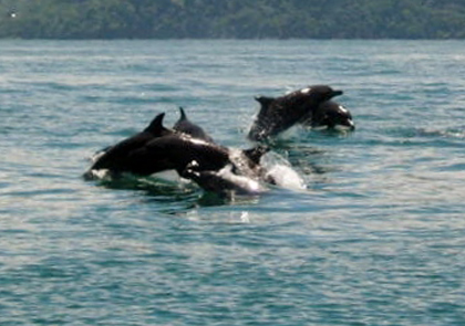 Dolphins and whales playing in the ocean.
